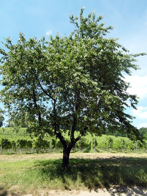 Free odenwald cherry fruit fruit tree wine summer
