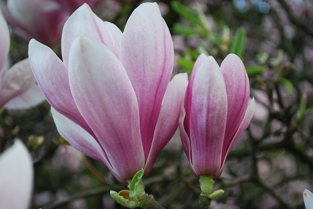 Free magnolia nature plants flowers spring park green
