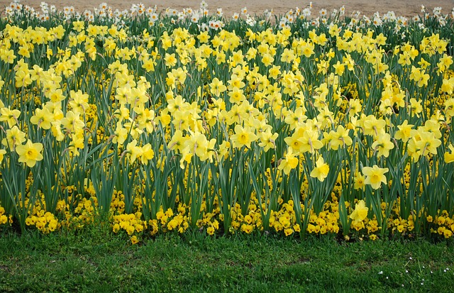 Free daffodil flowers nature plants flower spring