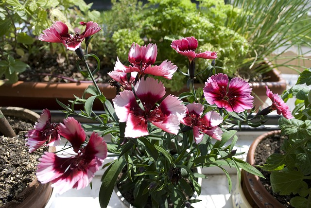 Free garden plant pink plant nature flower red