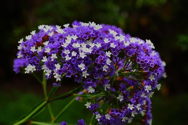 Free winged beach lilac flower limonium sinuatum