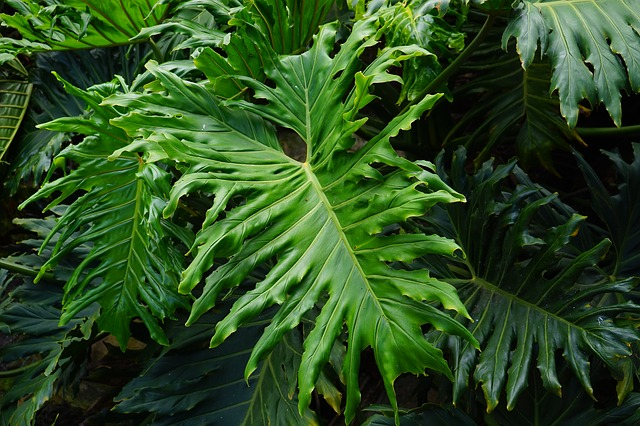 Free leaves large green huge exotic tree philodendron
