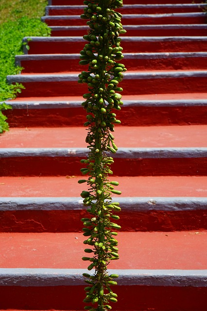Free dragon tree-agave inflorescence stairs emergence