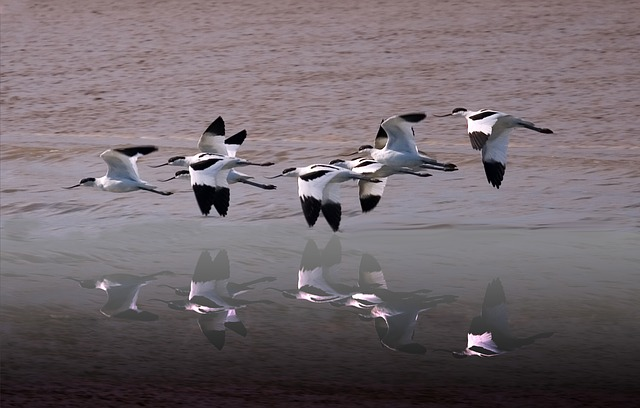 Free avocets wildlife wetland river wings