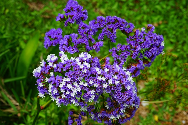 Free winged beach lilac flower limonium sinuatum