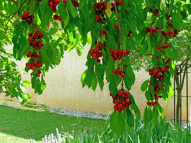 Free fruit fruit tree cherries branches leaves red