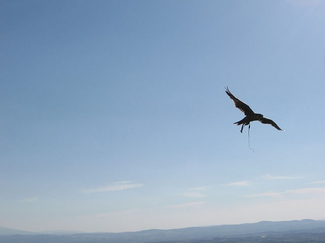 Free hawk sky fly