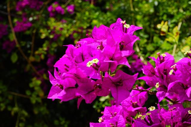 Free bougainvillea flowers pink bush bougainville
