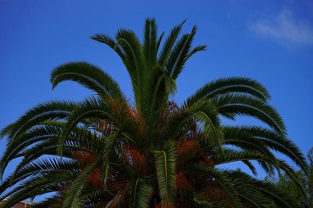 Free palm date palm tree palm tree phoenix
