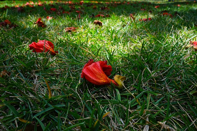 Free flowers red african tulpenbaum spathodea campanulata