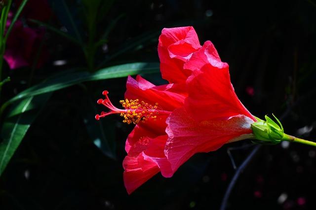 Free hibiscus flower red marshmallow mallow malvaceae