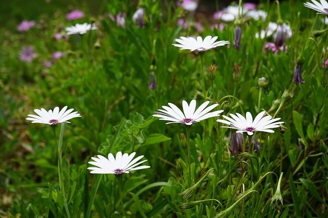 Free cape basket flowers white osteospermum cape daisies