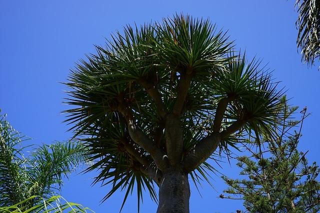 Free tree canary island dragon tree dracaena draco