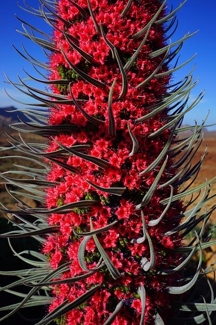 Free tajinaste rojo flower red echium wildpretii