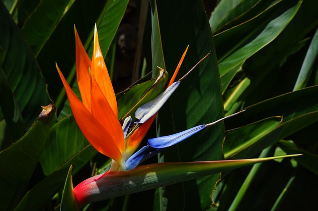 Free bird of paradise flower flower red yellow blue