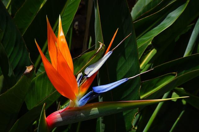 Free bird of paradise flower flower red yellow blue