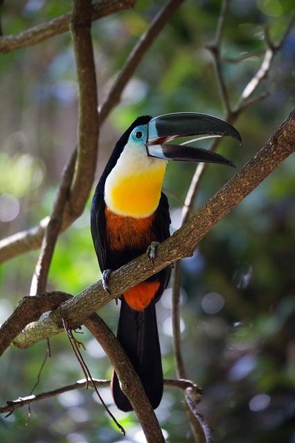 Free toucan bird wild tropical