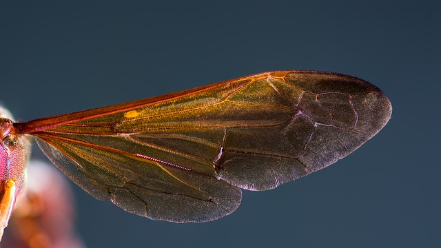 Free hornet wing hornet insect macro wing