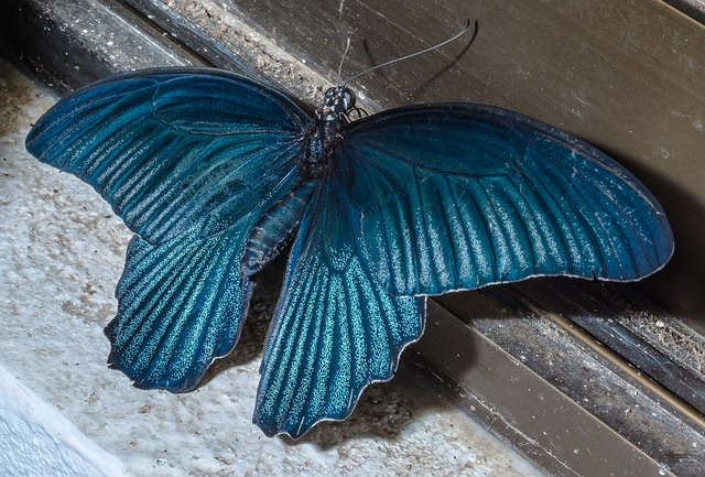 Free butterfly insect blue large huge
