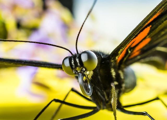 Free               butterfly insect eyes probe proboscis rolled up
