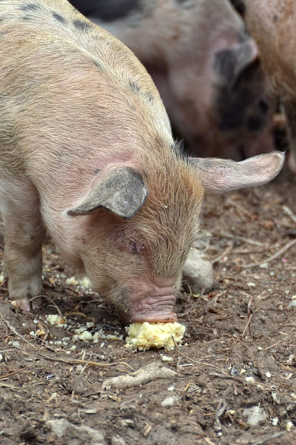 Free pig farm youngster piglet