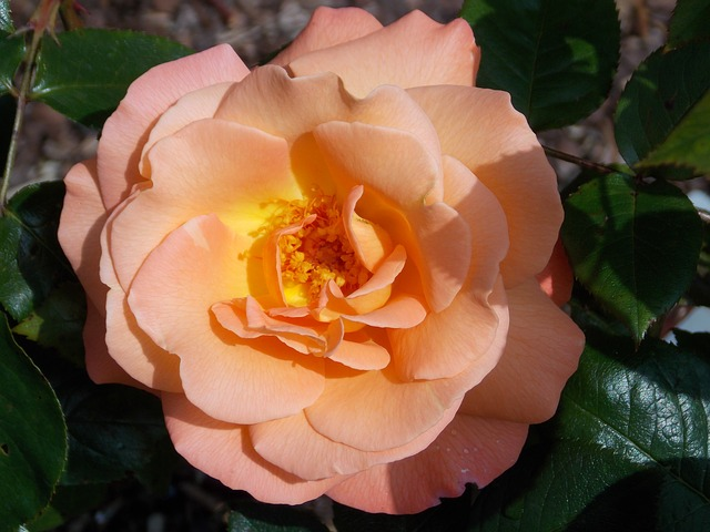 Free rose bloom flower rose close nature salmon summer