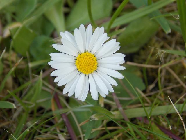 Free daisy flower white nature spring wild flower