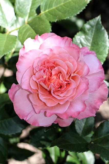 Free rose flower nature plant pink garden summer