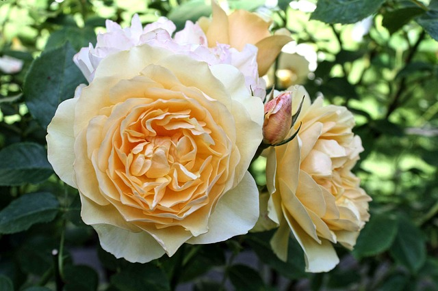 Free rose yellow flower close petals flora nature