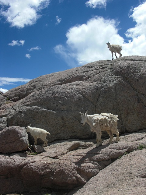 Free goats mountain goat animal nature wildlife