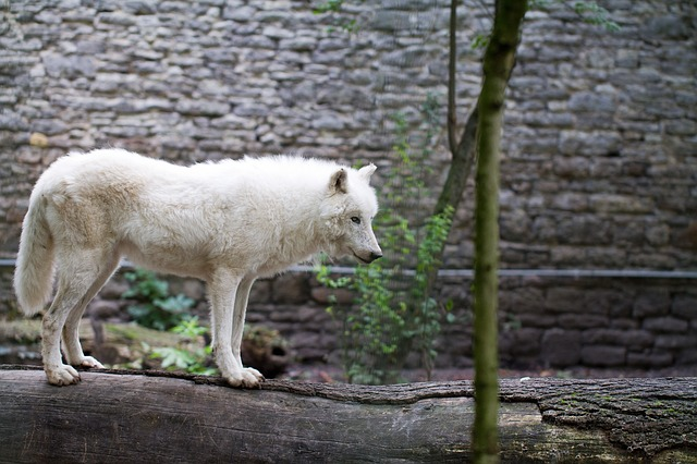 Free white wolf wolf zoo animal