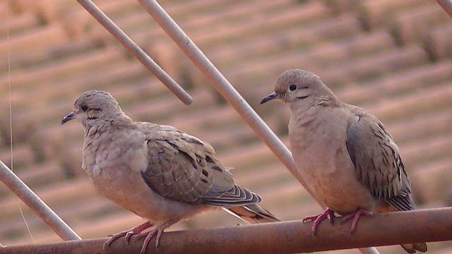 Free bird pity dove rolls été