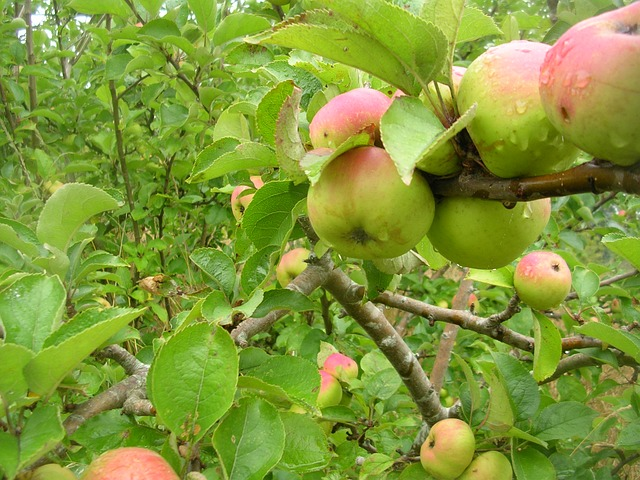 Free apple tree nature vegetation