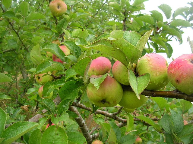 Free apple manzano tree nature vegetation