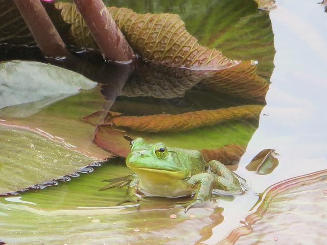 Free frog pond water green animal amphibian nature