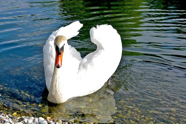 Free swan bird water bird see waters animal world