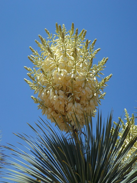 Free yucca yucca palm flower flora plant lily family