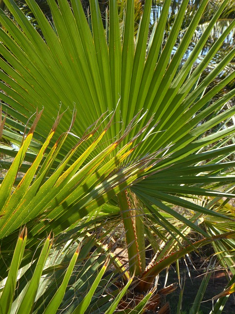 Free fan palm palm palm leaf frond botany green plant