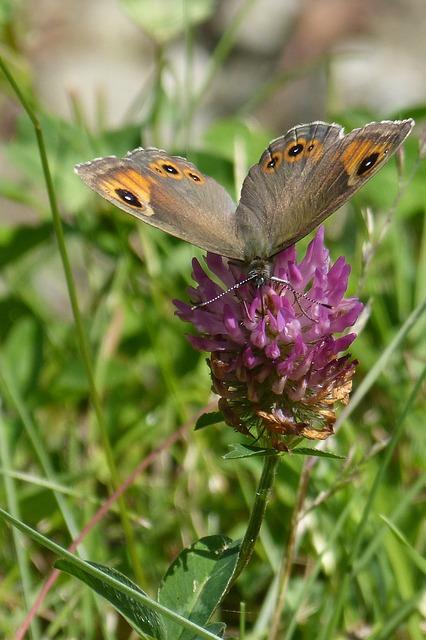 Free butterfly brown eye lasiommata maera red clover