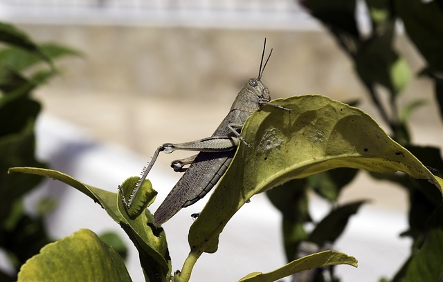 Free egyptian grasshopper grasshopper anacridium