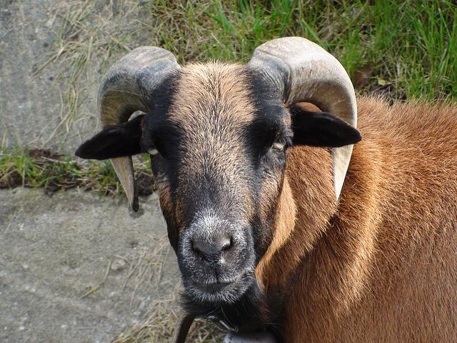 Free sheep animal head horns