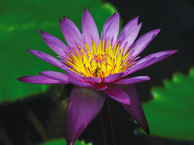 Free                water lily flower pond aquatic purple water bloom