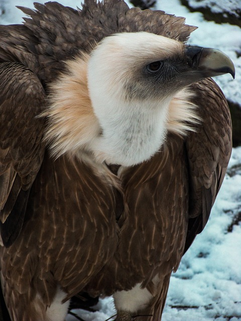 Free vulture griffon vulture bird of prey zoo bird beak