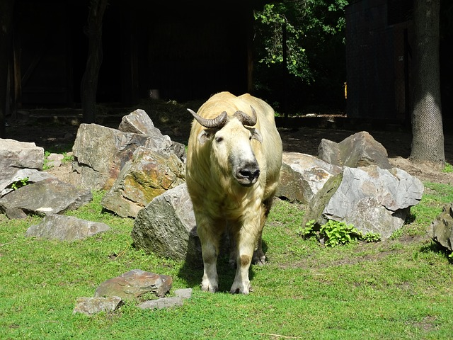 Free takin cattle chamois gnu goat goat-antelope animal
