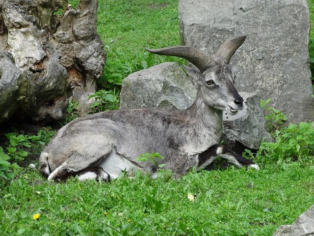 Free bharal himalayan blue sheep naur pseudois nayaur