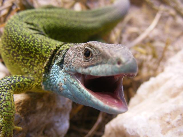 Free lizard animal reptile green green lizard nature