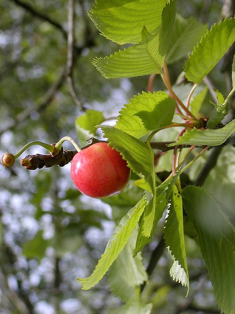 Free cherry fruit maturation a taste of sweet red