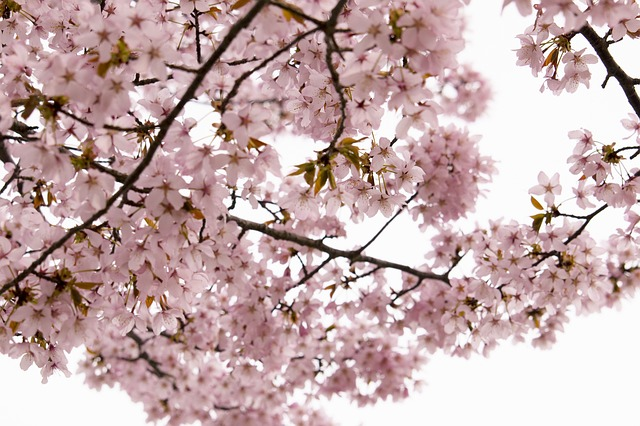 Free cherry wild cherry flowers pink