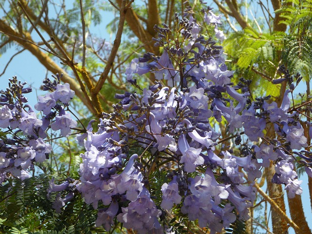 Free jacaranda tree bloom blossom flower flowers