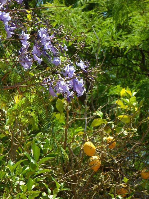 Free jacaranda lemon tree garden mediterranean plant